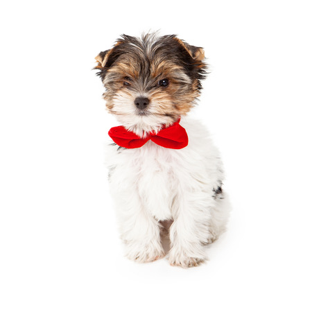 An eight week old Yorkshire Terrier puppy sitting against a white backdrop wearing a red bow tie photo