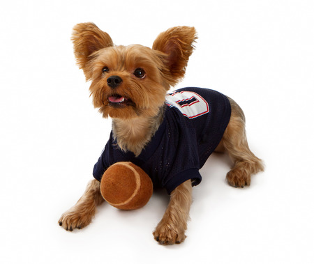 Yorkshire Terrier dog isolated on white wearing a football jersey with a toy football Stock Photo