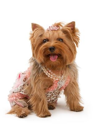 yorky: Yorkshire Terrier perro llevaba un bonito vestido y collar de perlas