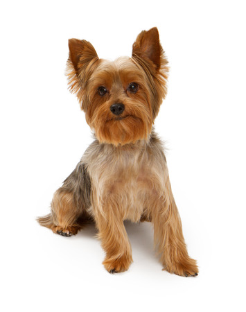 An adorable young Yorkshire Terrier dog isolated on white Stock Photo