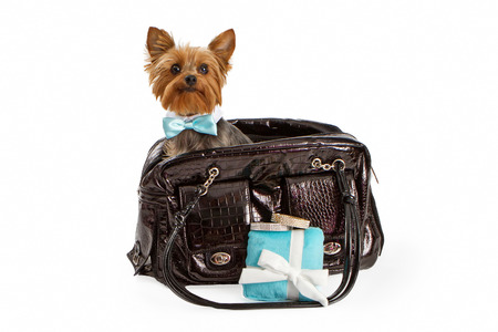 lap of luxury: An adorable little Yorkshire Terrier dog wearing a fancy formal bow tie sitting in a designer pet travel carrier