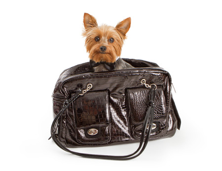 lap of luxury: A cute small Yorkshire Terrier dog wearing a black bow tie sitting in a designer leather pet carrier. Isolated on white.