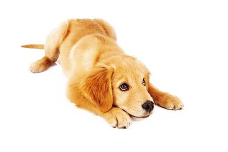 젊은 골든 리트리버 강아지는 승인을 위해 찾고있는대로 아래쪽 위치로 이동하는 훈련을 받고
