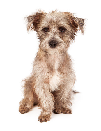 scruffy: An adorable scruffy terrier crossbreed puppy sitting