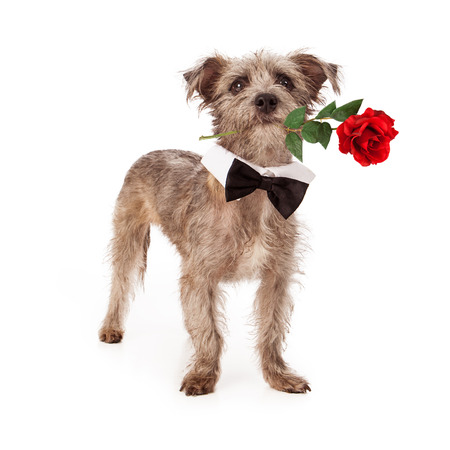 A cute little Terrier mixed breed dog standing against a white background wearing a formal black bow tie and holding a single red rose in his mouth photo