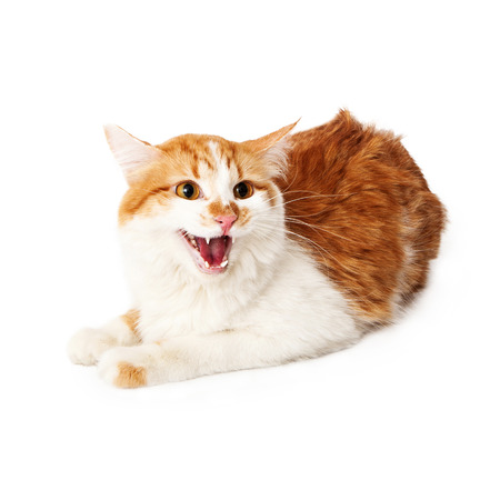 hissing: Angry yellow and white cat hissing while sitting on a white  Stock Photo