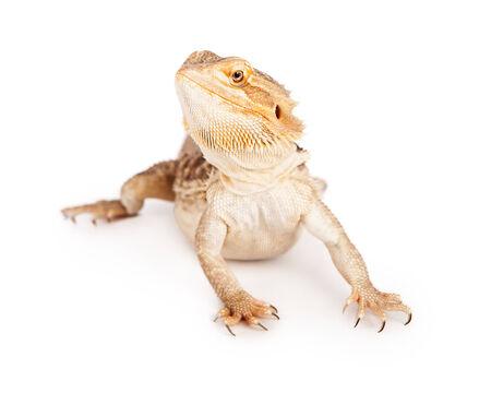 bearded dragon lizard: A bearded dragon lizard looking to the side
