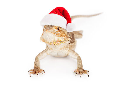 desert lizard: A bearded dragon wearing a red santa hat