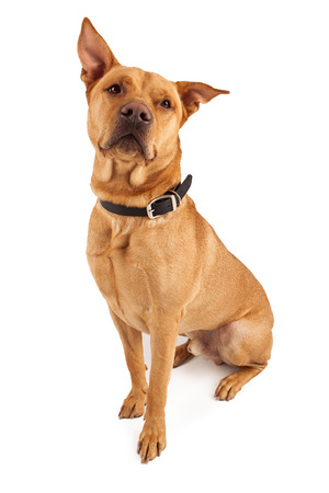 A handsome large Labrador Retriever and Shepherd mixed breed dog sitting pretty with perky ears