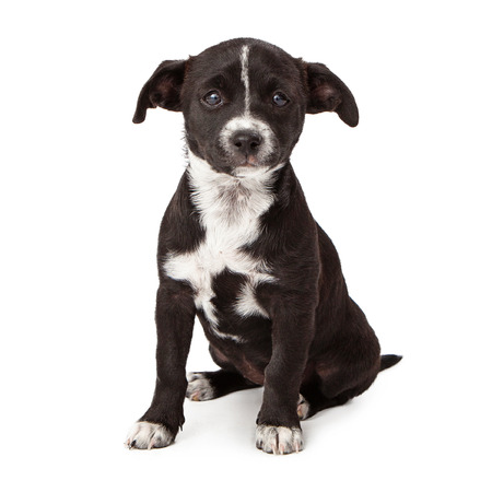Sad eight week old black and white puppy sitting looking at the camera isolated on white  photo