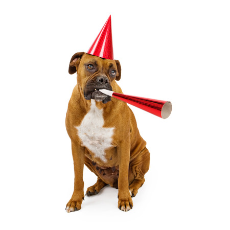 A fawn Boxer dog wearing a red hat and blowing on a party horn photo