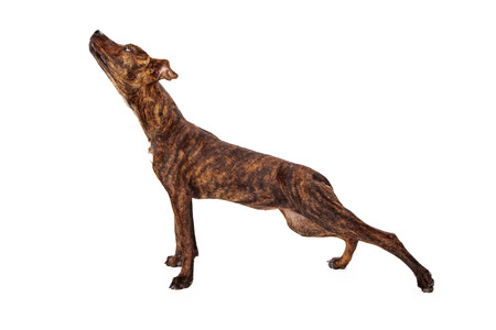 Profile of a brindle mixed breed dog stretching on white .