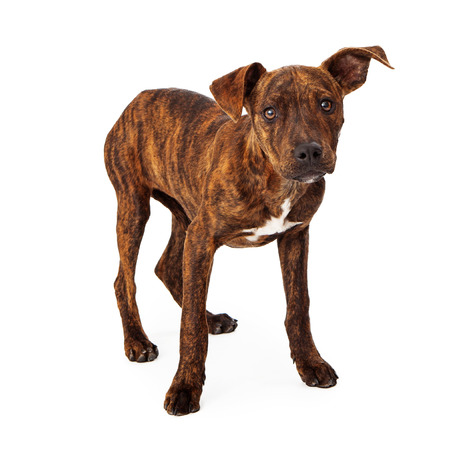 brindle: Brindle mixed breed puppy standing isolated on white