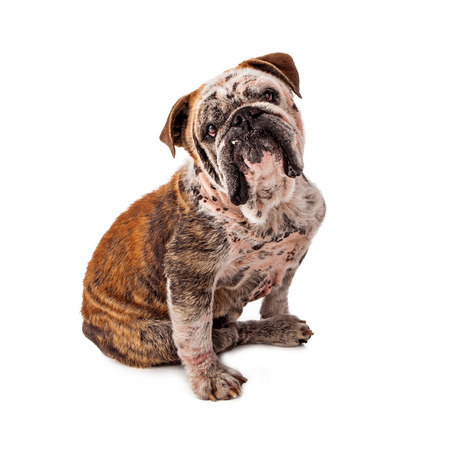A rescued Bulldog with patches of missing hair due to a skin disorder commonly known as mange