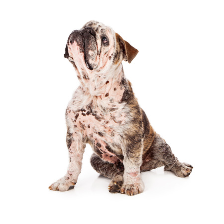 A Bulldog with a skin disease that is causing hair loss in patches