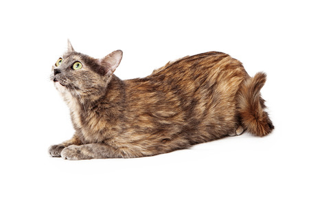 Calico cat cuusly looking up isolated on white . Stock Photo - 25850572