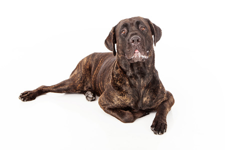 slobber: Cane Corso dog with slobber laying against a white backdrop Stock Photo