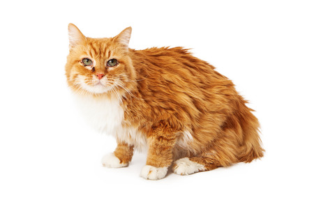 Yellow cat with eye infection sitting isolated on white  版權商用圖片