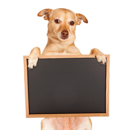 board: Chihuahua mixed breed dog sitting up and holding a blank black chalk board sign for you to enter your message on. Stock Photo