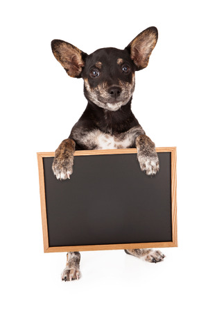 begging: Dachshund and Chihuahua mixed breed puppy holding a blank chalk board sign Stock Photo