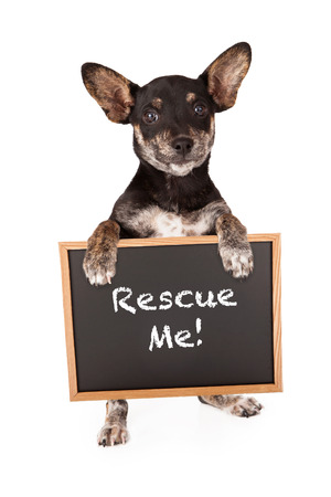 lapdog: Dachshund Chihuahua mixed breed dog standing up and holding a sign that says Rescue Me Stock Photo