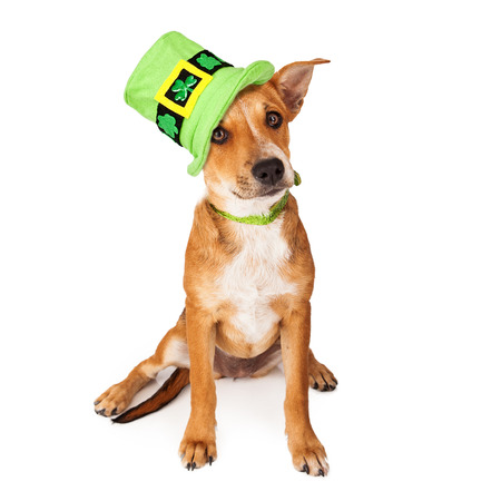 tal: A cute young mixed breed puppy dog wearing a green collar and tall St. Patricks Day Hat with clovers on it