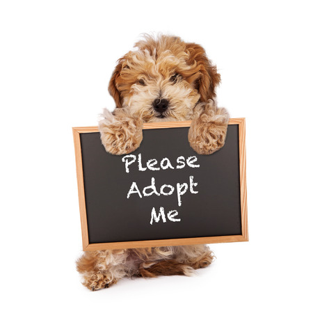 poodle mix: A cute Havanese and Poodle mix puppy holding a chalk board with the words Please Adopt Me