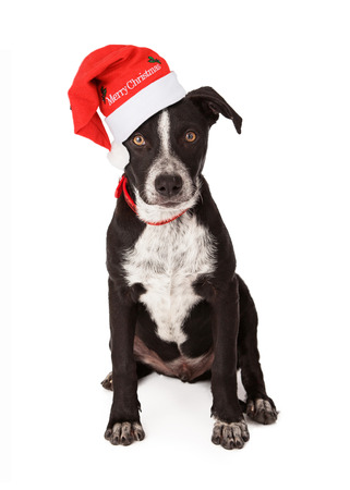 Mixed breed black and white puppy wearing a red collar and Santa hat that says Merry Christmas photo