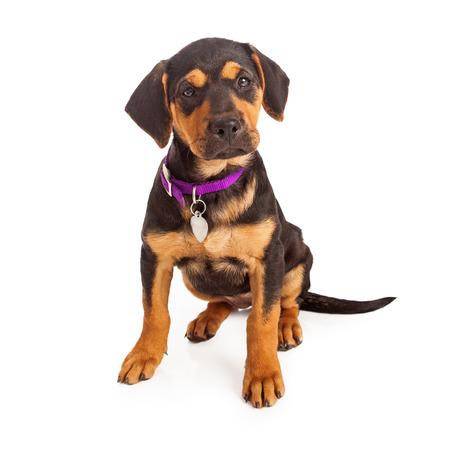 Rottweiler cachorro con un collar de color púrpura y blanco etiqueta sentado contra un blanco