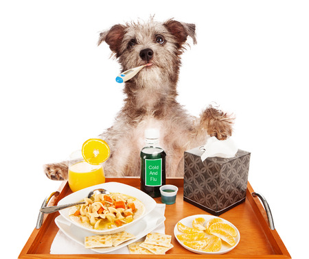 A cute terrier mixed breed dog sick with the flu with a thermometer in his mouth, a tray of chicken noodle soup, orange slices and juice for vitamin C, cold medicine and tissue.