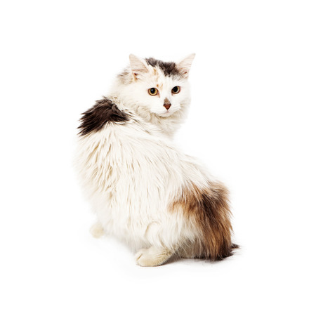 looking away from camera: White and spotted long-haired cat walking away from the camera looking back