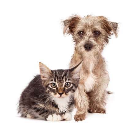 An adorable scruffy terrier crossbreed puppy sitting next to a young striped kitten