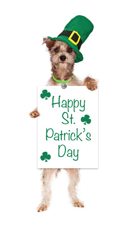 A cute terrier crossbreed dog wearing a green Irish hat standing up and holding a white sign that says Happy St Patrick's Day. photo