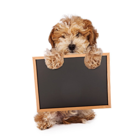 A Havanese and poodle mixed breed puppy standing up and holding a blank chalk board photo