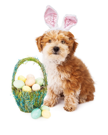 A cute little Havanese puppy wearing bunny ears while sitting next to a pretty basket full of pastel color Easter eggs