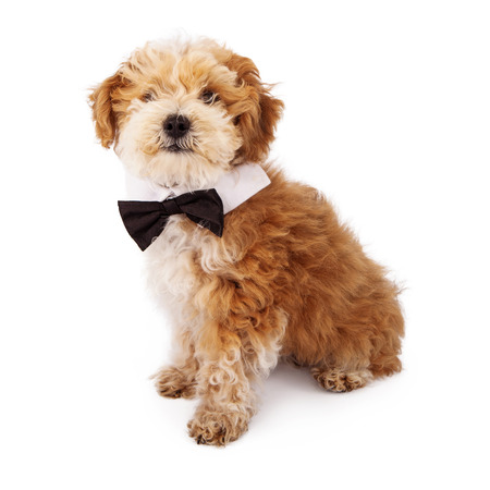 poodle mix: Adorable fluffy Havanese and Poodle mix eight week old puppy wearing a bow tie