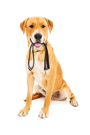 Labrador Retriever dog against a white backdrop holding a black leash in his mouth as he is waiting to go on a walk.  Banco de Imagens