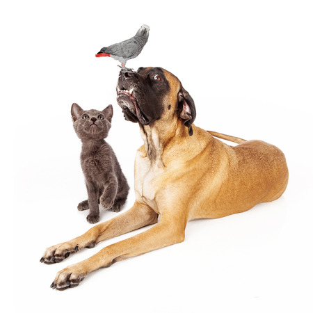 A group of pets including a large English Mastiff dog laying down next to a playful kitten looking up at an African Grey Parrot bird
