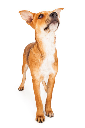 A cute yellow coated crossbreed dog standing and looking up