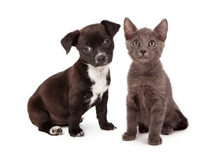 adopt: Black and white puppy and a gray kitten sitting together. Both animals are eight weeks old.