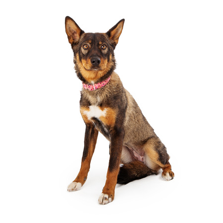 A pretty brown and tan color female shepherd mixed breed dog sitting against a white