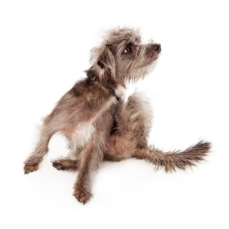 itchy: A small scruffy dog scratching an itch Stock Photo