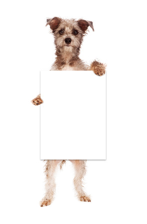 crossbreed: A cute terrier crossbreed dog against standing up and holding a blank white sign for you to enter your marketing message onto
