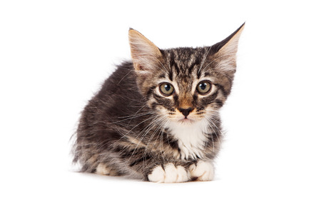 siting: A small gray striped kitten on a white  Stock Photo