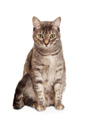 Jonge grijze kleur tabby kat zitten geïsoleerd op wit op zoek naar beneden. Stockfoto