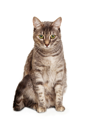 Young gray color tabby cat sitting isolated on white looking down.