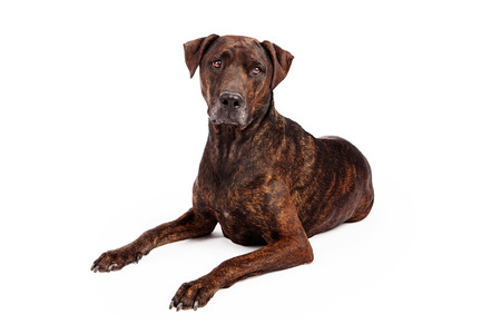 brindle: Beautiful brown brindle coated Labrador Retriever and Plott Hound crossbreed laying down against a white background.