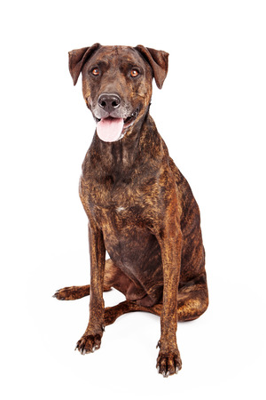 A pretty Labrador and Plott Hound mixed breed dog with a brown brindle coat sitting against a white background 版權商用圖片