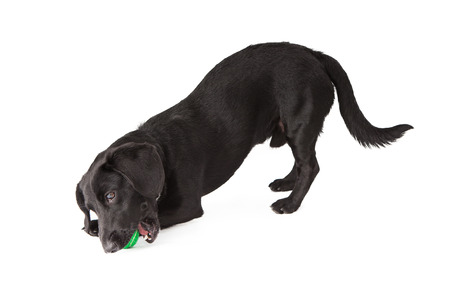A small black Dachshund mixed breed dog chewing on a green tennis ball
