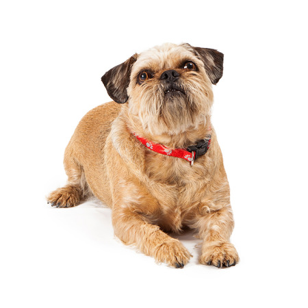 A cute Brussels Griffon dog laying down and looking up